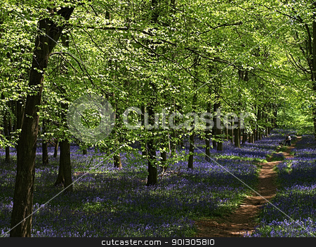 Bluebells in Spring stock photo, The natural beauty of wild flowers in the UK in Spring by SRSImages