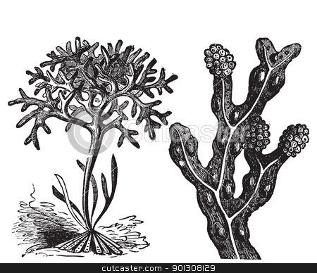 Chondrus crispus , irish moss or Fucus vesiculosus, bladderwrack stock vector clipart, Chondrus crispus , irish moss or Fucus vesiculosus, bladderwrack engraving, old antique illustration of diffrents algaes.  by Patrick Guenette