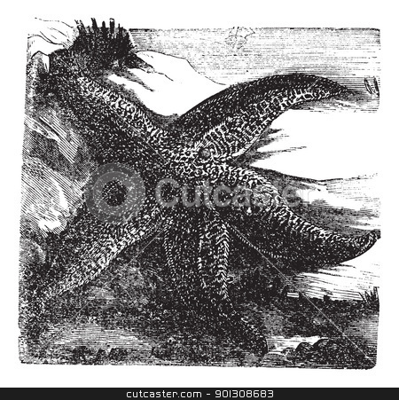 Asterias rubens or Common starfish. Vintage engraving. stock vector clipart, Asterias rubens, Common starfish or Common Sea Star. Vintage engraving. Old engraved illustration of a Common Starfish found on rocky and gravelly substrates in the north-east Atlantic and Indian Ocean. by Patrick Guenette
