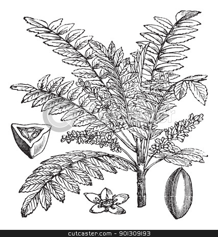 Indian Frankincense or Salai or Boswellia serrata vintage engrav stock vector clipart, Indian Frankincense Salai or Boswellia serrata vintage engraving.  Old engraved illustration of Indian Frankincense plant by Patrick Guenette