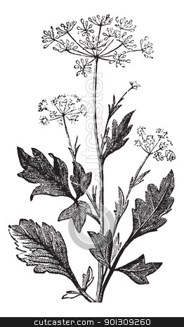 Anise or Pimpinella anisum vintage engraving stock vector clipart, Anise or Anis or Aniseed or Pimpinella anisum vintage engraving.  Old engraved illustration of Anise seed by Patrick Guenette