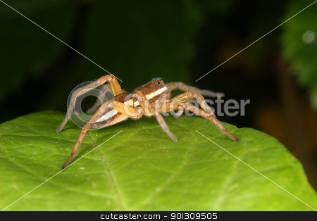 Raft spider (Dolomedes fimbriatus) stock photo, Raft spider (Dolomedes fimbriatus) on a leaf by Torsten Dietrich