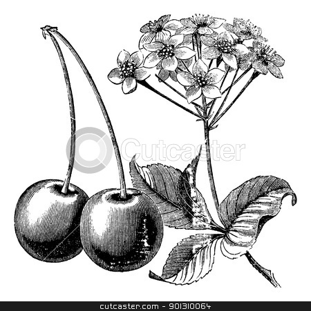 Cherry with leaves and flowers vintage engraving stock vector clipart, Cherry with leaves and flowers vintage engraving. Old engraved illustration of two cherries with leaves and flowers. by Patrick Guenette