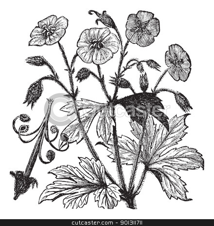 Spotted Geranium or Geranium maculatum vintage engraving  stock vector clipart, Spotted Geranium or Geranium maculatum or Wood Geranium or Wild Geranium or Spotted Cranesbill or Wild Cranesbill or Alum Root or Alum Bloom or Old Maid's Nightcap, vintage engraving. Old engraved illustration of Spotted Geranium, isolated on a white background.  by Patrick Guenette