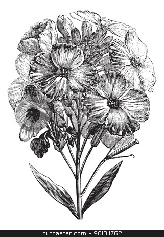 Aegean wallflower or Erysimum cheiri vintage engraving stock vector clipart, Aegean wallflower or Erysimum cheiri or Cheiranthus cheiri, vintage engraving. Old engraved illustration of Aegean wallflower, isolated on a white background. by Patrick Guenette