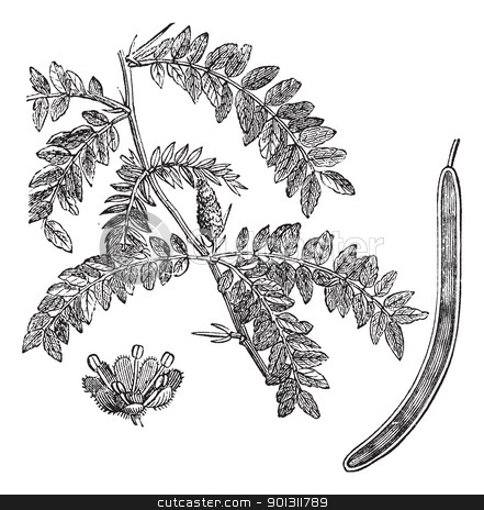 Honey locust or Gleditsia triacanthos vintage engraving stock vector clipart, Honey locust or Gleditsia triacanthos, vintage engraving. Old engraved illustration of Honey locust with its legume, isolated on a white background.  by Patrick Guenette