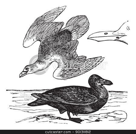 European Herring Gull or Larus argentatus vintage engraving stock vector clipart, European Herring Gull or Larus argentatus, vintage engraving. Old engraved illustration of European Herring Gull, young and adult with beak.   by Patrick Guenette