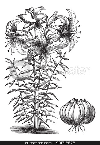 Gilded lily (Lilium auratum), vintage engraving stock vector clipart, Gilded lily (Lilium auratum), vintage engraved illustration. Trousset encyclopedia (1886 - 1891). by Patrick Guenette