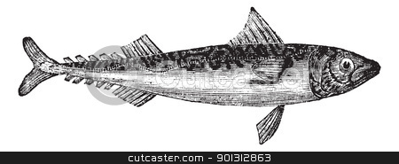 Atlantic mackerel or Scomber scombrus vintage engraving stock vector clipart, Atlantic mackerel or Scomber scombrus or Boston mackerel or Mackerel, vintage engraving. Old engraved illustration of Atlantic mackerel isolated on a white background.    by Patrick Guenette