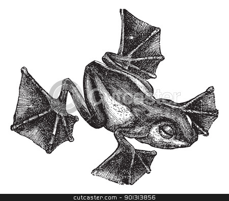 Rhacophorus or Racophorus vintage engraving stock vector clipart, Rhacophorus or Racophorus or Leptomantis or Rhacoforus or Flying frog, vintage engraving. Old engraved illustration of Rhacophorus isolated on a white background. by Patrick Guenette