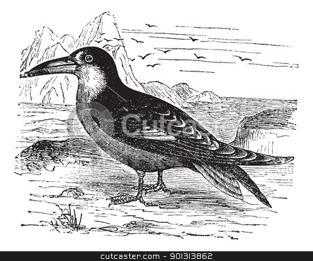 Black Skimmer or Rynchops niger vintage engraving stock vector clipart, Black Skimmer or Rynchops niger, vintage engraving. Old engraved illustration of Black Skimmer in the meadow. by Patrick Guenette