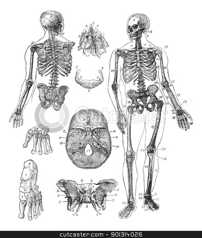 Human skeleton vintage engraving stock vector clipart, Human skeleton, vintage engraving. Old engraved illustration of Human skeleton from front and back with its functioning parts and their names. by Patrick Guenette