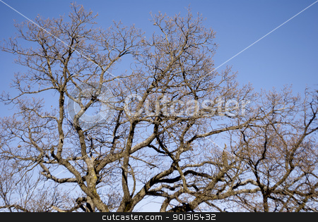 trees against stock photo, branches of tall trees against the blue sky  by freeteo