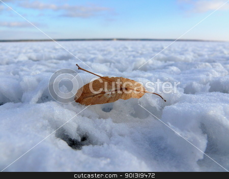 Dry linden flower in the snow stock photo, Dry linden flower in the snow by Stoyanov