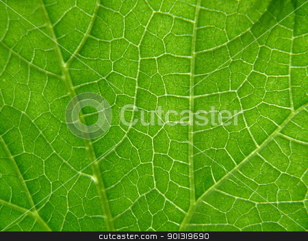 Texture of cucumber leaf stock photo, Texture of cucumber leaf by Stoyanov