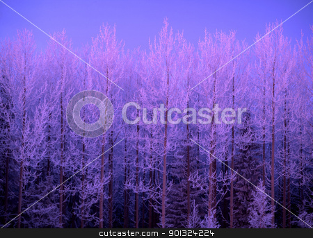 Frost trees in sunset stock photo, Beautiful frost trees in sunset by Ingvar Bjork
