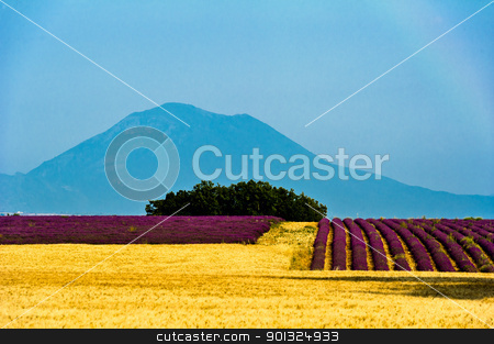 Valensole - Fields of lavander and wheat stock photo, Europe, France, Alpes-de-Haute-Provence (04), parc naturel régional du Verdon, plateau de Valensole, champs de lavande et de blé. by Scanella