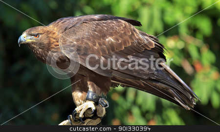 Golden Eagle Aquila Chrysaetos stock photo, Golden Eagle Aquila Crhysaetos Bird of Prey Predator Looking by William Perry