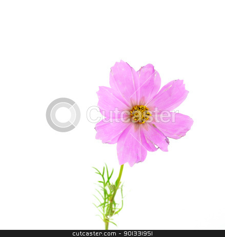 Single pink daisy stock photo, Single pink daisy over white by Sergei Devyatkin