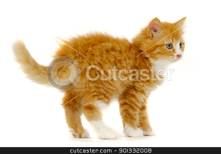 Sweet cat kitten standing on white background stock photo, Red cat kitten is standign on a white background by Lars Christensen