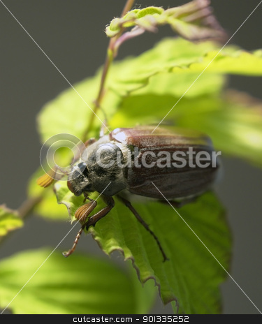may beetle sitting on a twig
