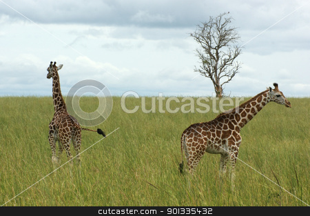 two Giraffes in african savannah stock photo, wide grassland scenery including two Rothschild Giraffes in Uganda (Africa) by prill