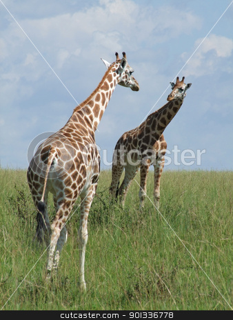 two Giraffes in african savannah stock photo, two Rothschild Giraffes looking on each other in Uganda (Africa) by prill