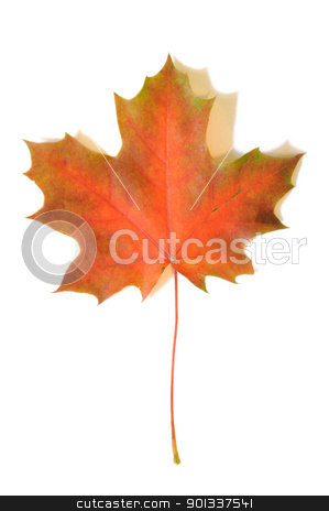 Autumn maple leaf stock photo, Yellow autumn maple leaf with soft shadows on white background by Iryna Rasko