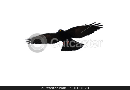 Bird stock photo, A black crow on white background free by Viktor Thaut