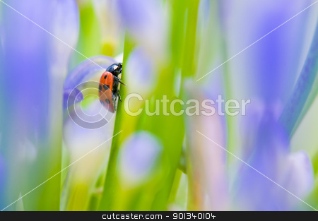 Close up shoot of a ladybug stock photo, Close up shoot of a ladybug in a summer flower by Ulrich Schade