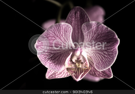 Close up shoot of a beautiful Orchid blossom stock photo, Close up shoot of a beautiful Orchid blossom with black background by Ulrich Schade