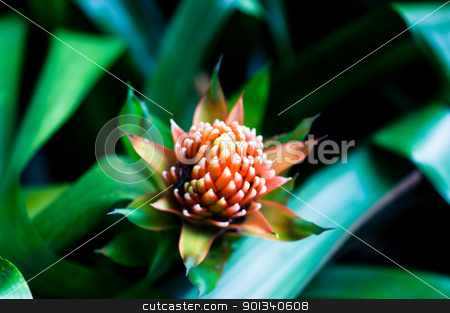 Aechmea fasciata bromeliad flower  stock photo, Beautiful Bromeliads flower isolated by Ulrich Schade