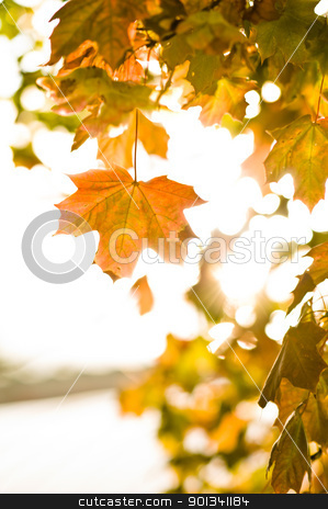 Maple leafs in the autumn sun bright glowing stock photo, Maple leafs in the autumn sun bright glowing during afternoon by Ulrich Schade