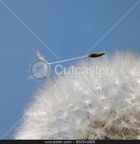 dandelion seeds in blue back stock photo, dandelion seeds closeup in blue back by prill