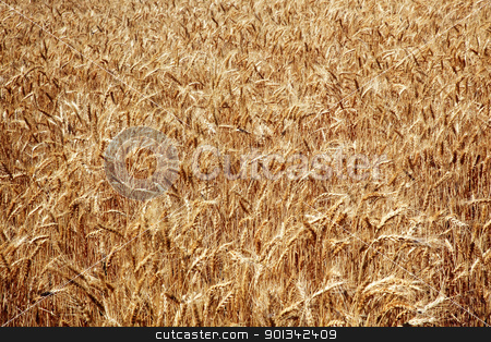 Ripe Wheat Field Palouse Washington State stock photo, Ripe Wheat Field Ready for Harvest Palouse Washington State Pacific Northwest by William Perry