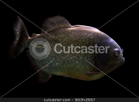 Piranha stock photo, sideways shot of a Piranha in black back by prill