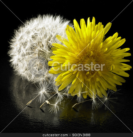 dandelion flower and blowball stock photo, dandelion and blowball in black reflective back by prill