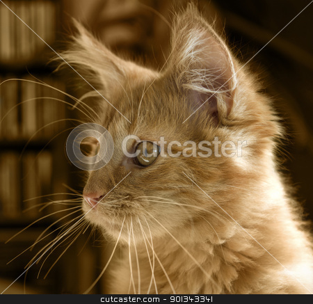 Maine Coon kitten portrait stock photo, portrait of a red tabby Maine Coon kitten by prill