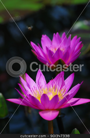 Water lily closeup stock photo, Water lily closeup in purple color in water by rabbit75_cut