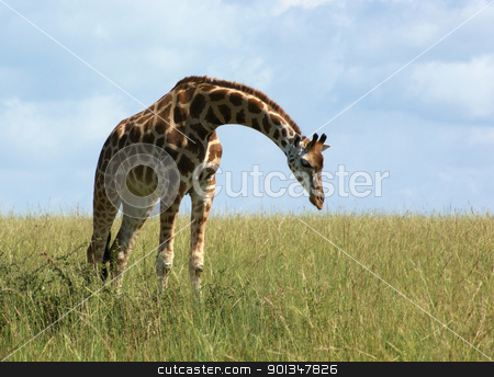 Giraffe in african grassland stock photo, a bending down Rothschild Giraffe in Uganda (Africa) by prill
