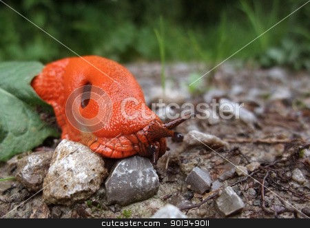 red slug on the ground stock photo, low angle shot showing a red slug closeup by prill