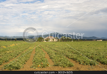 Tomatoes field near Arezzo (Tuscany, Italy) at summer stock photo, Tomatoes field near Arezzo (Tuscany, Italy) at summer by clodio