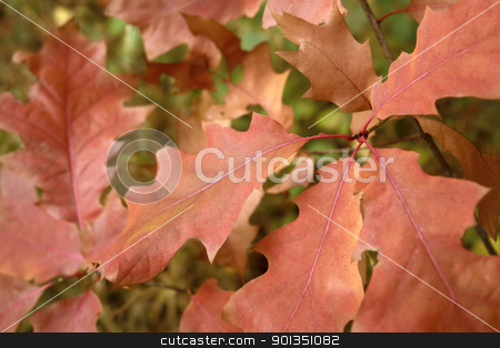 reddish autumn leaves stock photo, detail of a twig with reddish autumn leaves by prill
