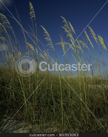 Seagrass against a deep blue sky stock photo, Green seagrass against a deep blue sky by saje