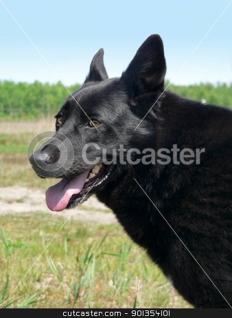alertness of a dog stock photo, outdoor portrait of a alert black dog by prill