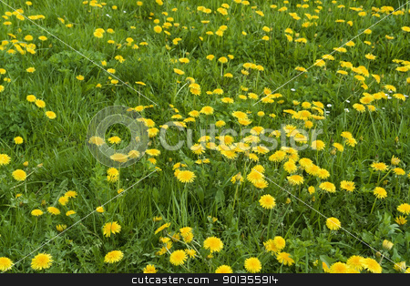sunny dandelion meadow stock photo, meadow detail with lots of yellow dandelions in green grass by prill