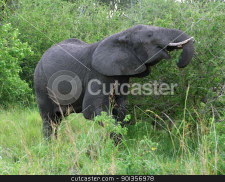 Elephant in green vegetation stock photo, a elephant at fed in Uganda (Africa) by prill