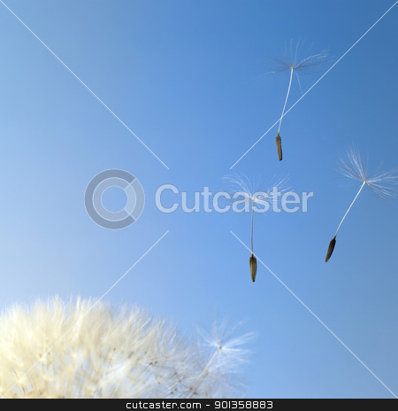 flying dandelion seeds in blue back stock photo, dandelion seeds closeup in blue back by prill