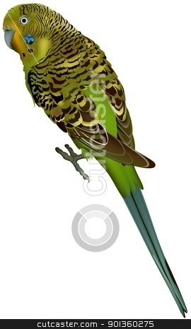 Budgerigar stock photo, Budgerigar (Melopsittacus undulatus) - Colored illustration by derocz