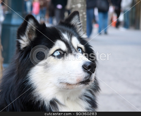 husky dog stock photo,  by njtransit